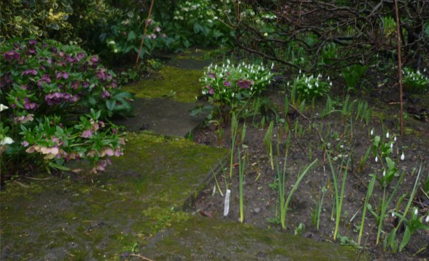 Spring- flowers, helebores and snow drops